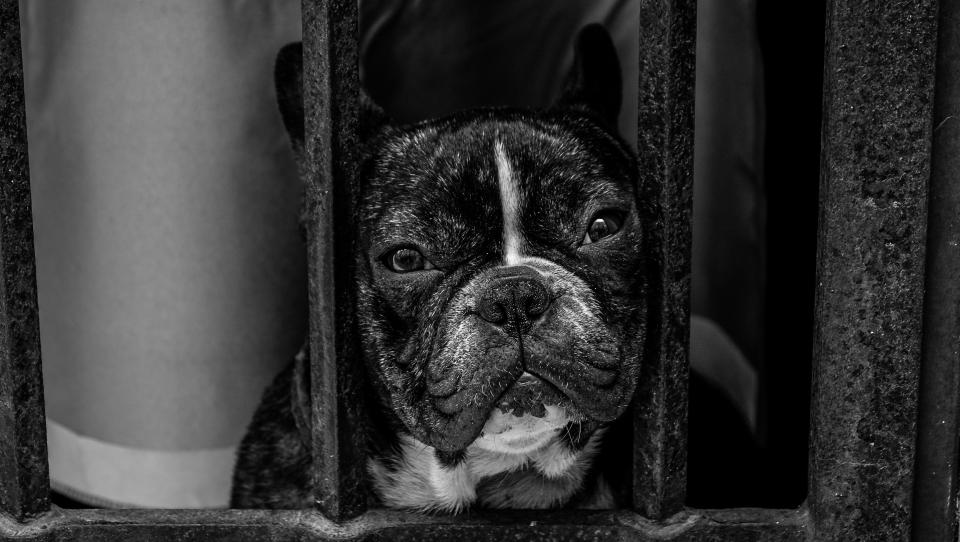 black and white dog pet pug animal grill cage monochrome
