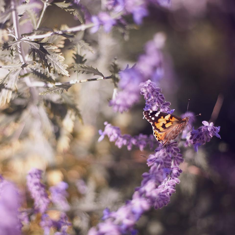 butterfly, insect, nature, purple, flower, lavender, leaves, plant, garden, sunny, sunshine, summer, sunrise, blur