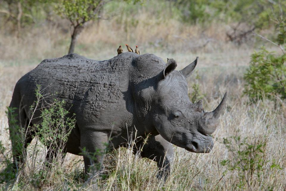 rhinoceros, animal, wildlife, nature, landscape, green, grass, leaves, horn