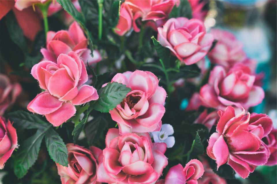 pink, roses, flowers