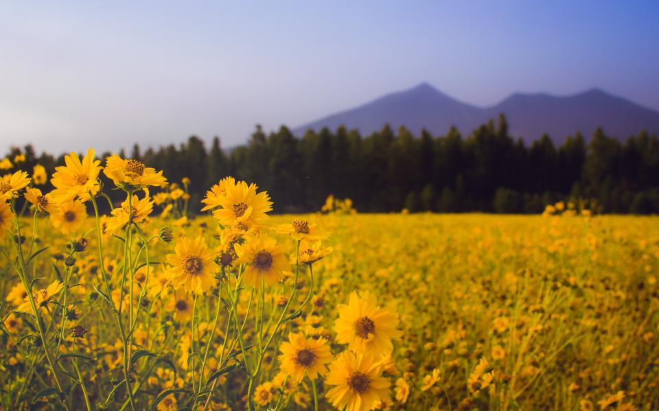 flower, yellow, petal, bloom, garden, plant, nature, autumn, fall, sunflower, mountain, trees, woods, forest