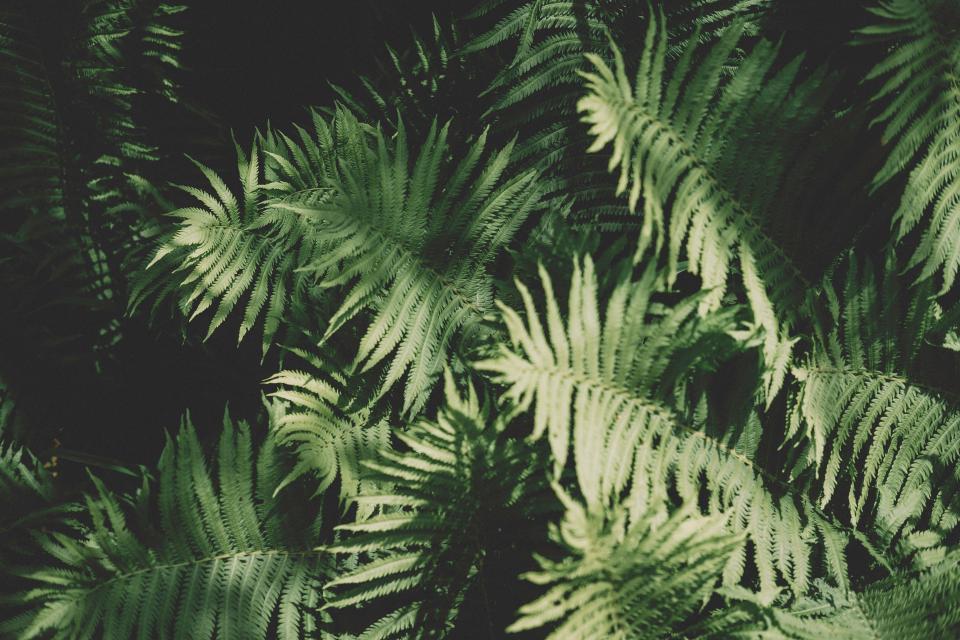 fern green leaf plant garden nature
