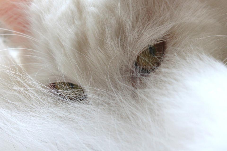 cat pet animal eyes white whiskers hair fur