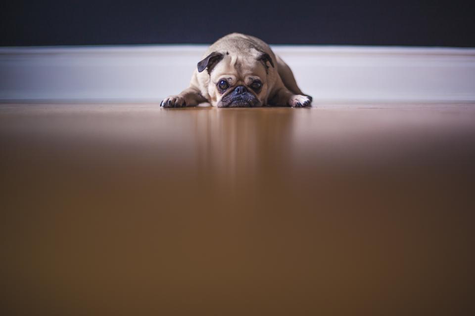 dog, pet, animals, sad, floor