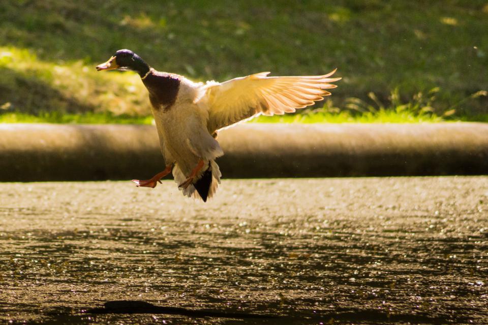 duck, bird, wings, flying, animal, water, beak