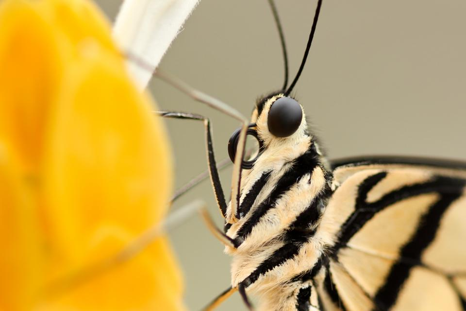 insect, butterfly, closeup, flower, eyes, wings, fur, antenna, black, head, nature