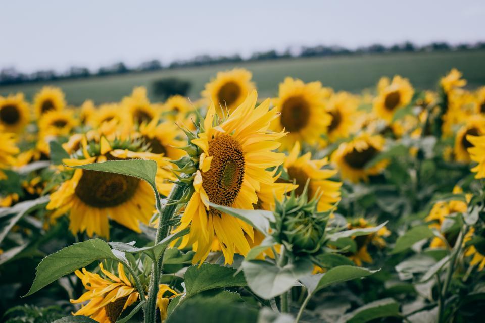 sunflower yellow petal field farm garden nature plant sky