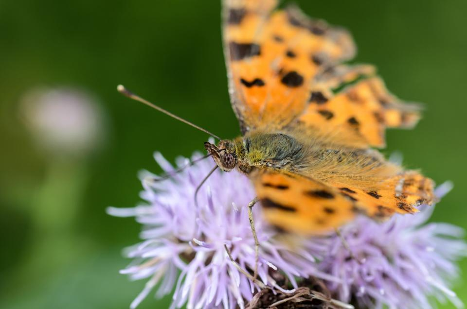 orange, butterfly, flower, insect, green, nature, plant, blur