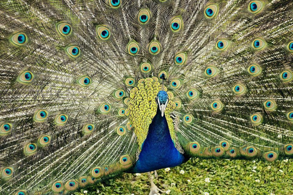 peafowl, peacock, colorful, bird, animal, green, grass, zoo, feather