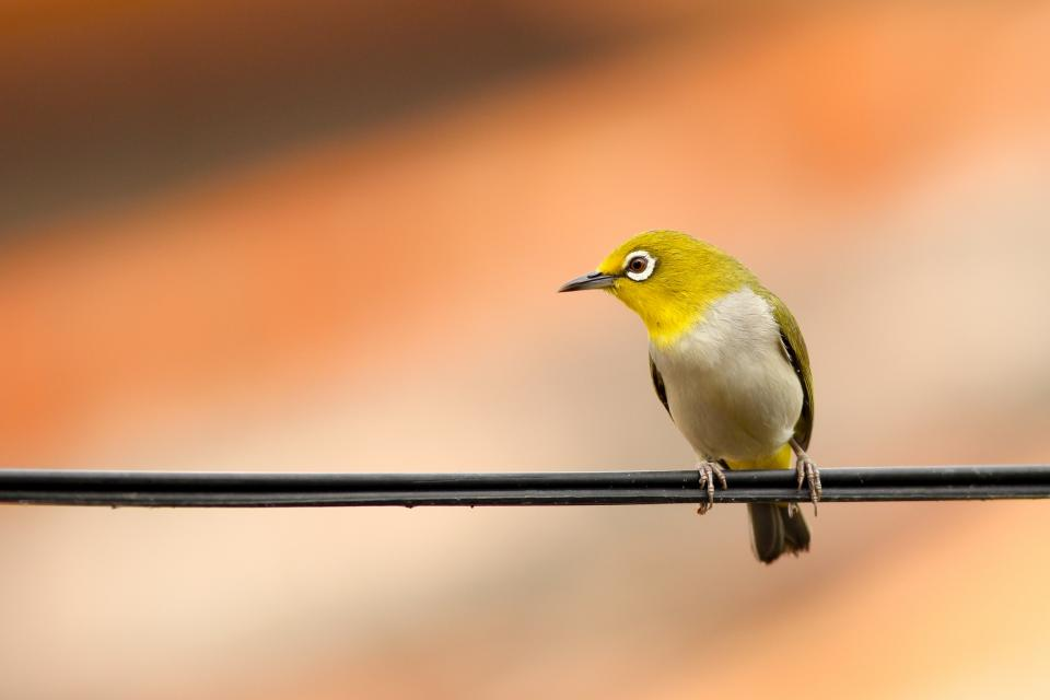 bird, animal, fly, nature, wire