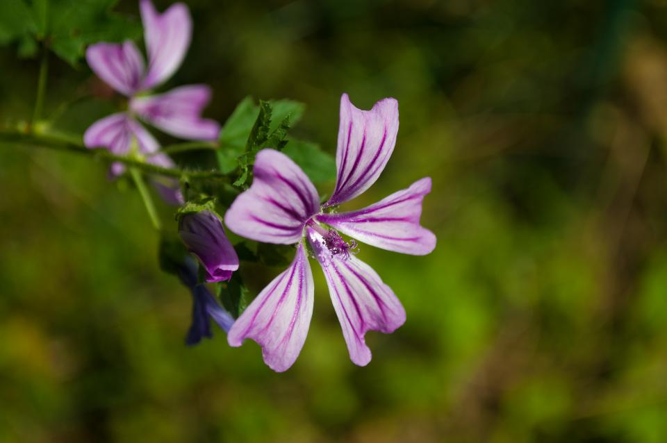 mallow, flower, purple