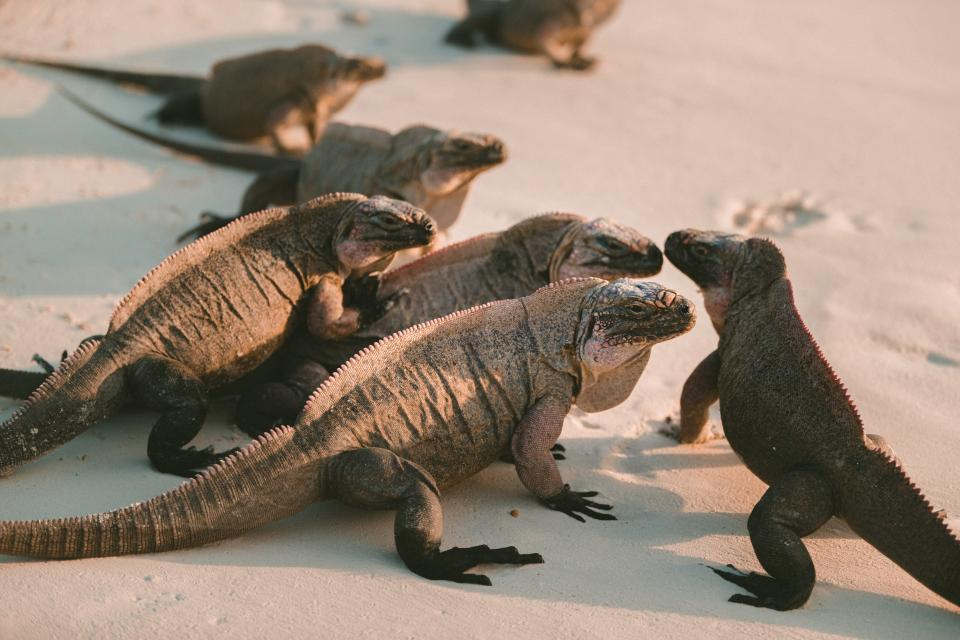 reptile, sand, beach, lizard