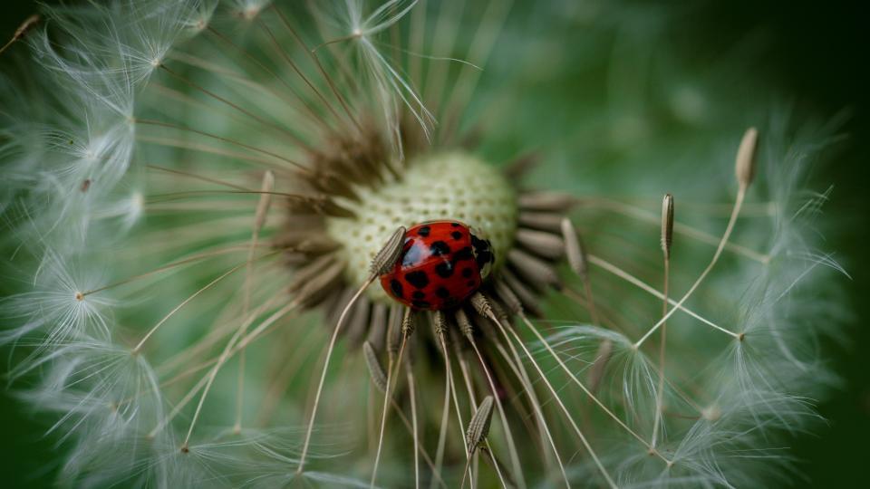 dandelion, flower, plant, nature, insect, creatures, animal, outdoor, garden