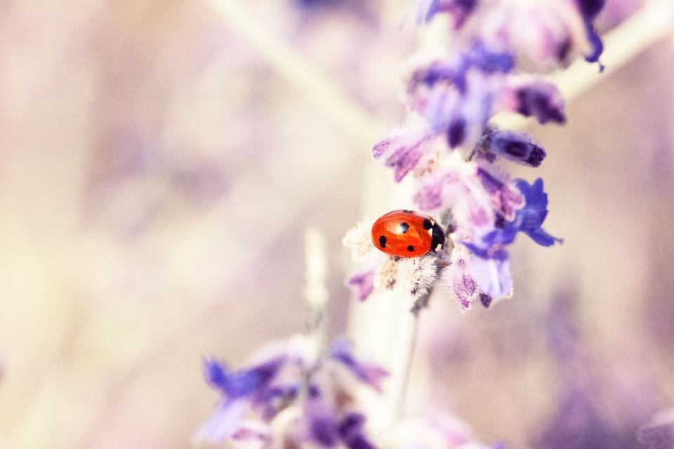 lavender, flower, petal, bloom, blossom, beetle, bug, insect, outdoor, blur