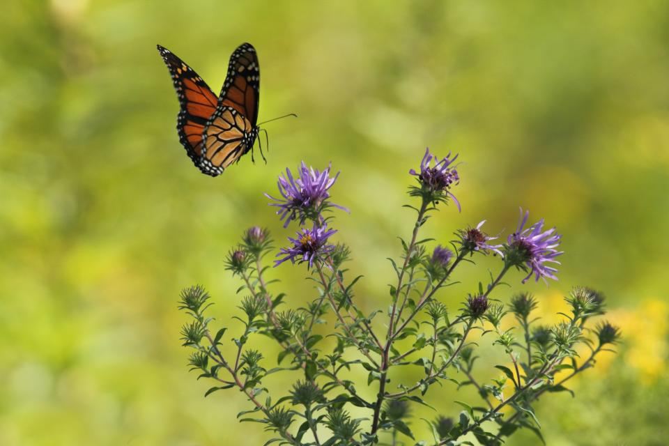 flower, violet, petal, bloom, garden, plant, nature, autumn, fall, butterfly, moth, insect