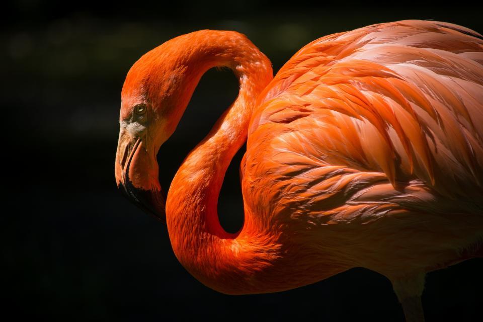 bird, animal, orange, wings, neck, beak, flamingo, pink, beautiful, gorgeous, feathers