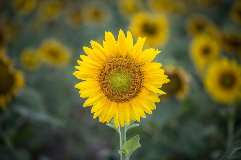 sunflower, yellow, petal, field, farm, garden, nature, plant, blur