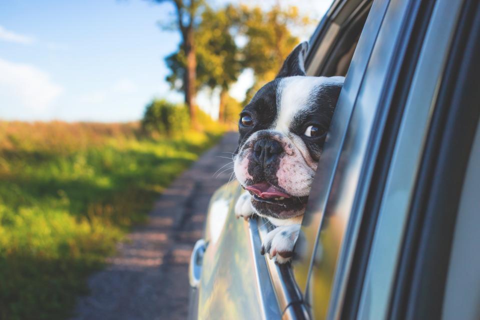 animals, dogs, domesticated, pets, eyes, muzzle, adorable, pet, peek, peep, car, window, tongue, out, road, trip, travel, still, bokeh