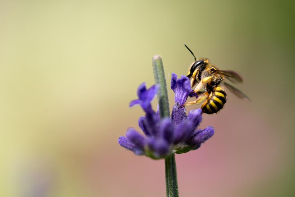 flower, violet, petal, bloom, garden, plant, nature, autumn, fall, green, leaves, bee, insect