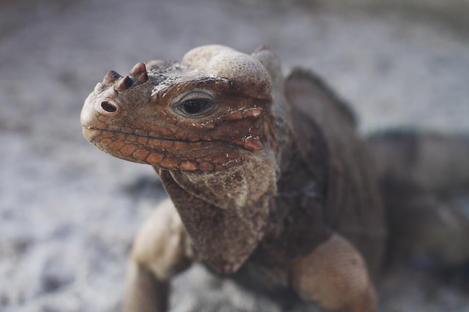 iguana, pet, animal, wildlife, reptile, outdoor