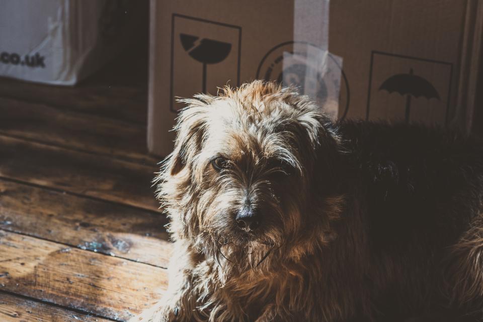dog, pet, puppy, animal, floor, inside, house