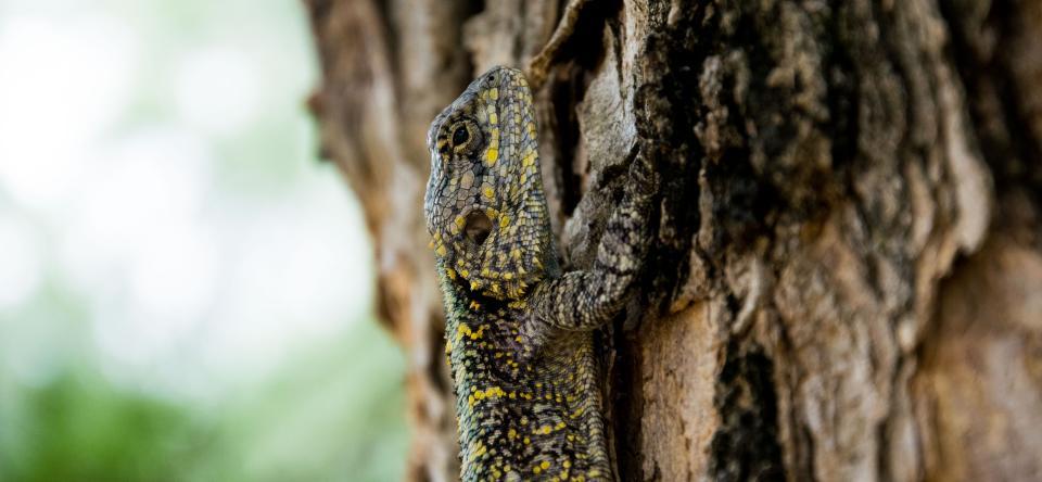 animals, reptiles, lizard, gecko, scales, tree, bark, tree, wood, bokeh