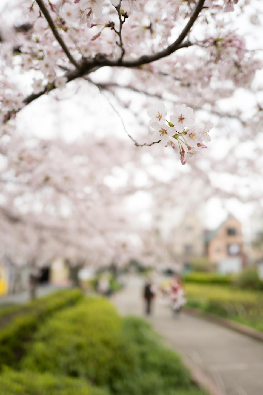 flower, white, petal, bloom, garden, plant, nature, autumn, fall, green, grass, park, pathway