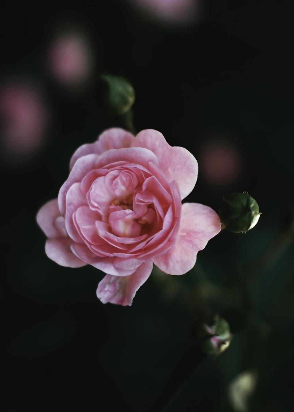 pink, petal, flower, blur, outdoor