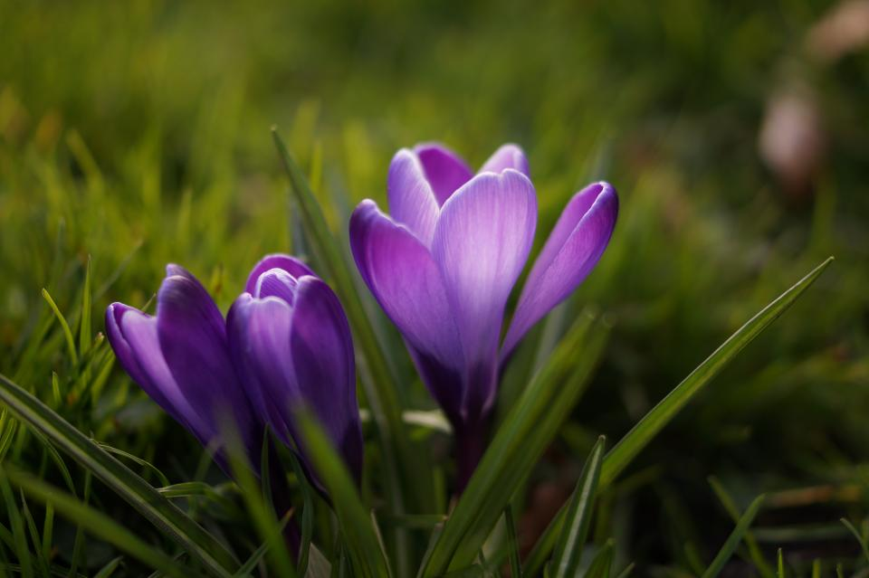 crocus, flower, purple, grass, nature