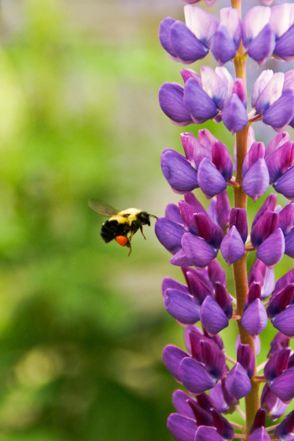 wasp, bee, stinger, wings, insect, purple, flower, nature