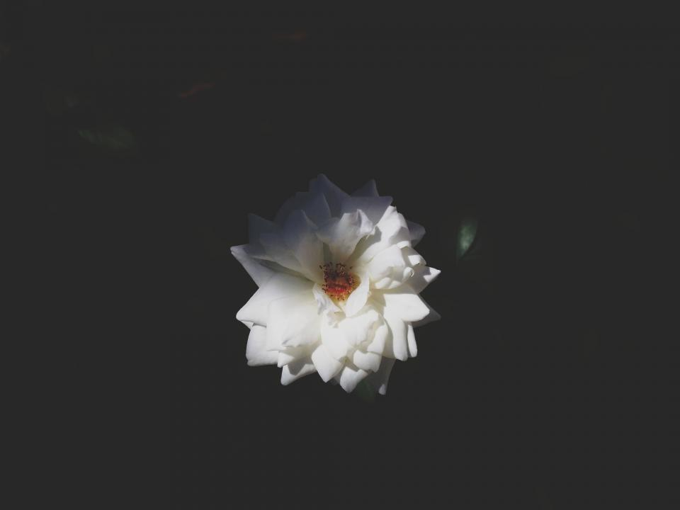 nature, flower, flowers, bloom, white, plant, petals