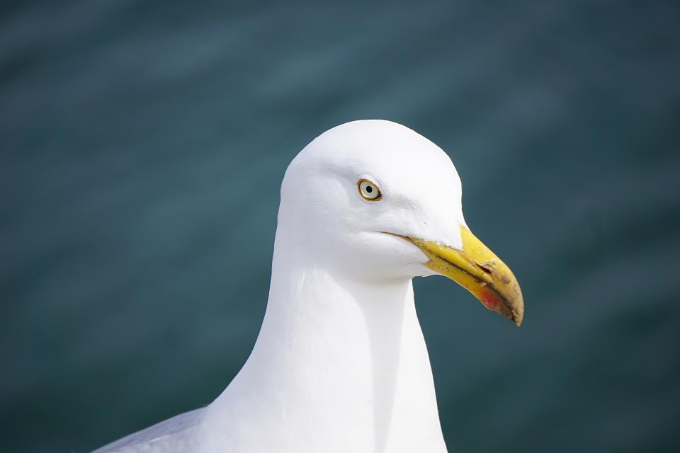 animal, bird, seagull, white, eye, head, feather, beak, bill, rostrum, blur