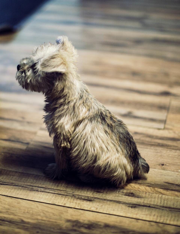 wooden, floor, dog, puppy, animal, pet