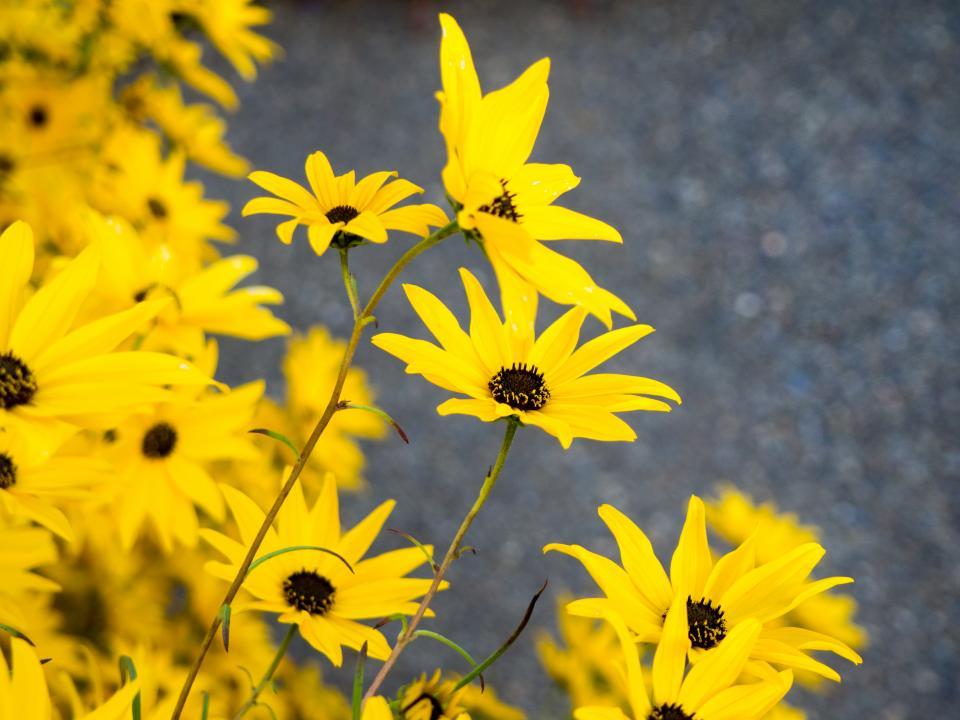 yellow petals flowers nature outdoors summer spring garden environment blur