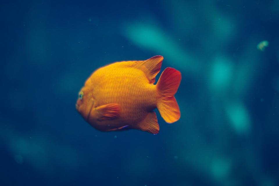 gold, fish, aquatic, animal, swimming, underwater, blue, water