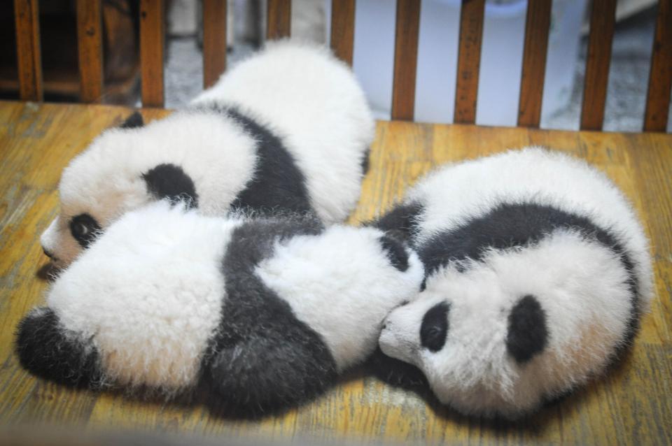 pandas panda bears animals babies sleeping tired resting