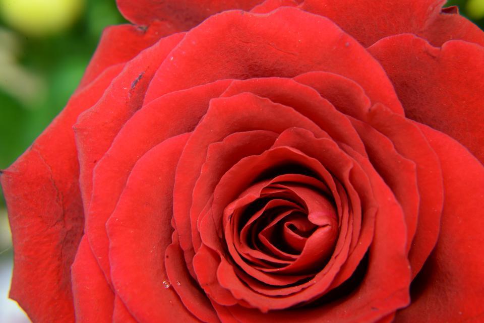 plants, flower, rose, red, petals, leaves, love, bloom, garden, nature, autumn
