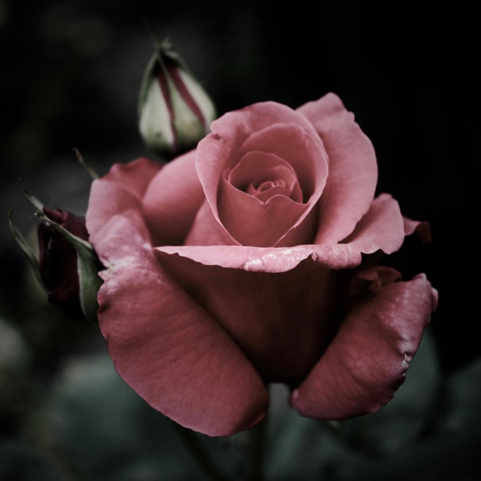 pink, rrose, petal, bloom, flower, plant, nature