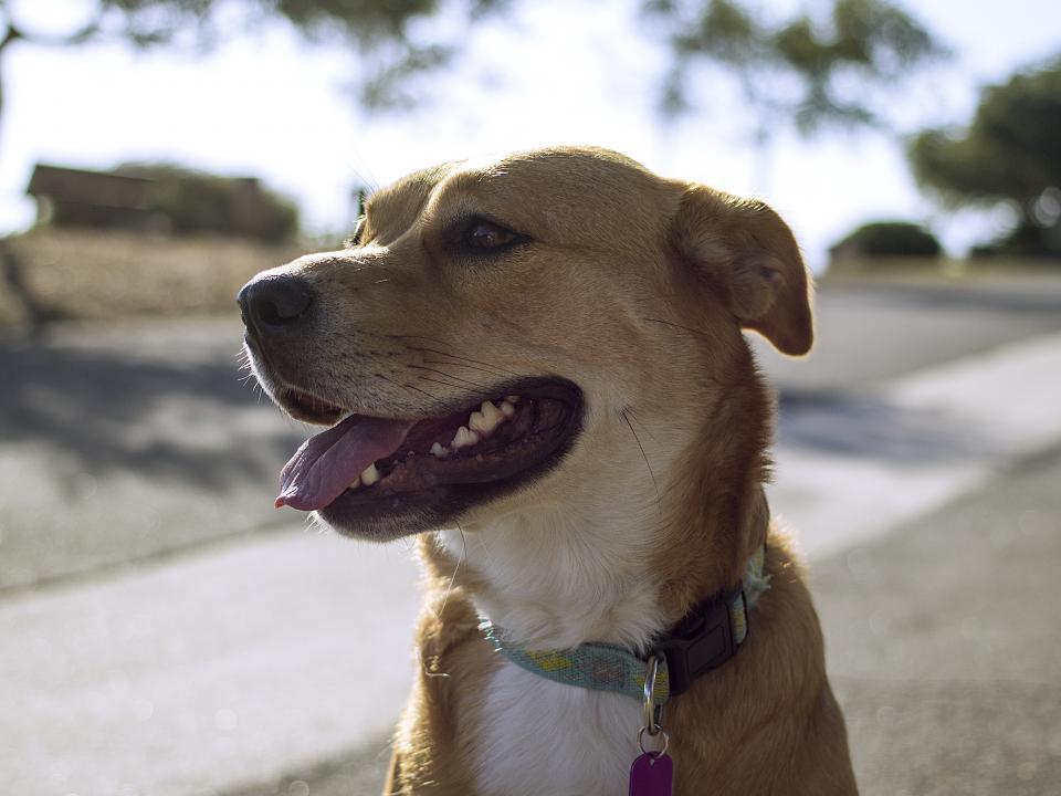 dog, pet, animal, collar, tongue