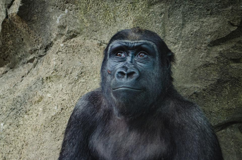 gorilla, monkey, mammal, animal, black, face, hair, fur