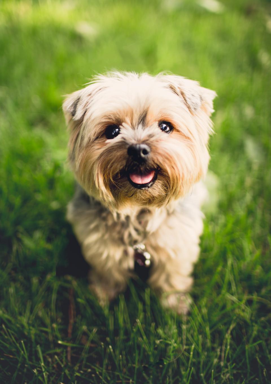 dog, puppy, pet, outside, green, grass
