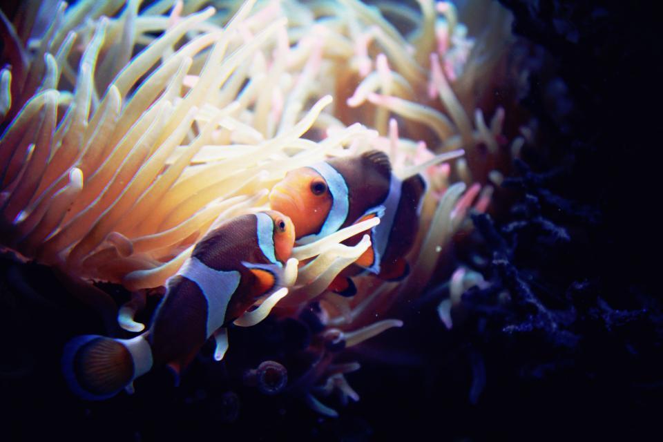 nature, water, underwater, sea, anemone, animals, fishes, clownfish