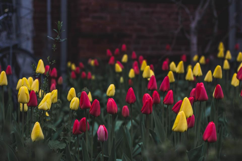 colorful, yellow, red, pink, flowers, plant, nature, outdoor, garden, green, leaf, tulips