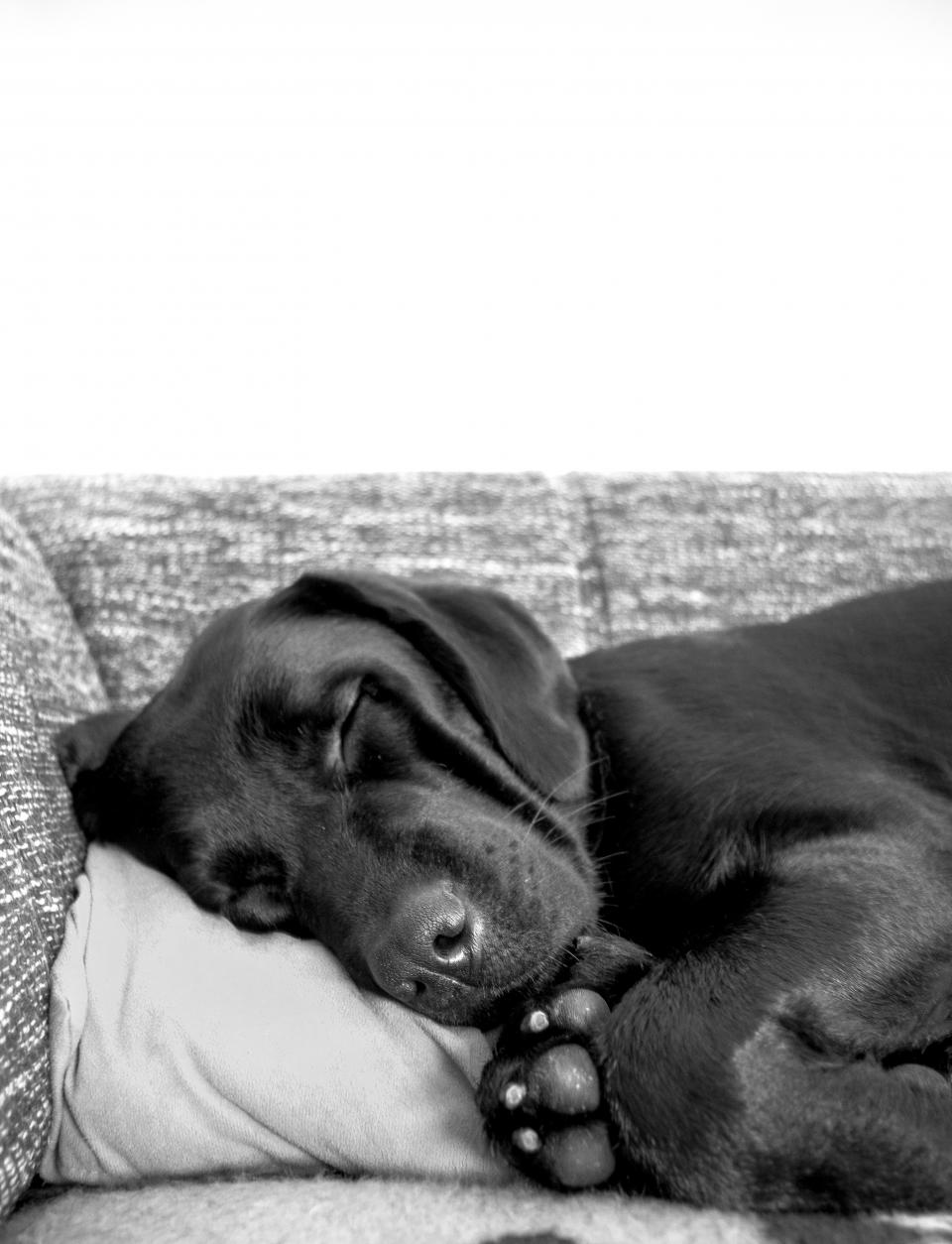 dog, puppy, pet, animal, sleeping, pillow, couch