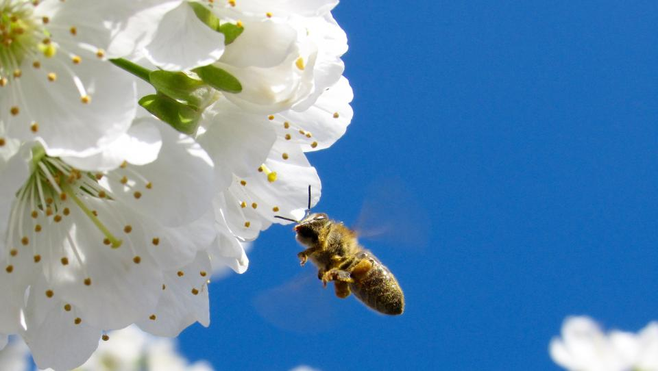 blue, sky, bee, insect, animal, white, petal, flower, blossoms, bloom, nature, garden