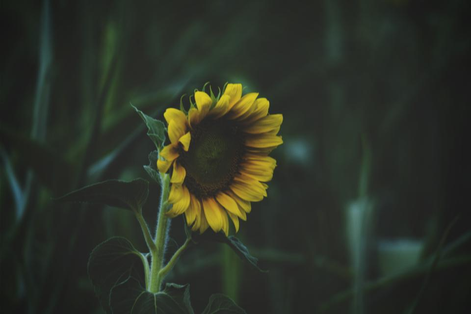 sunflower, green, plant, leaf, garden, outdoor, field, nature