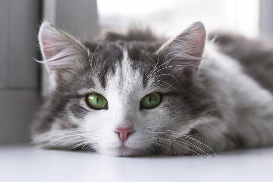 cat animal kitten cute eyes whiskers