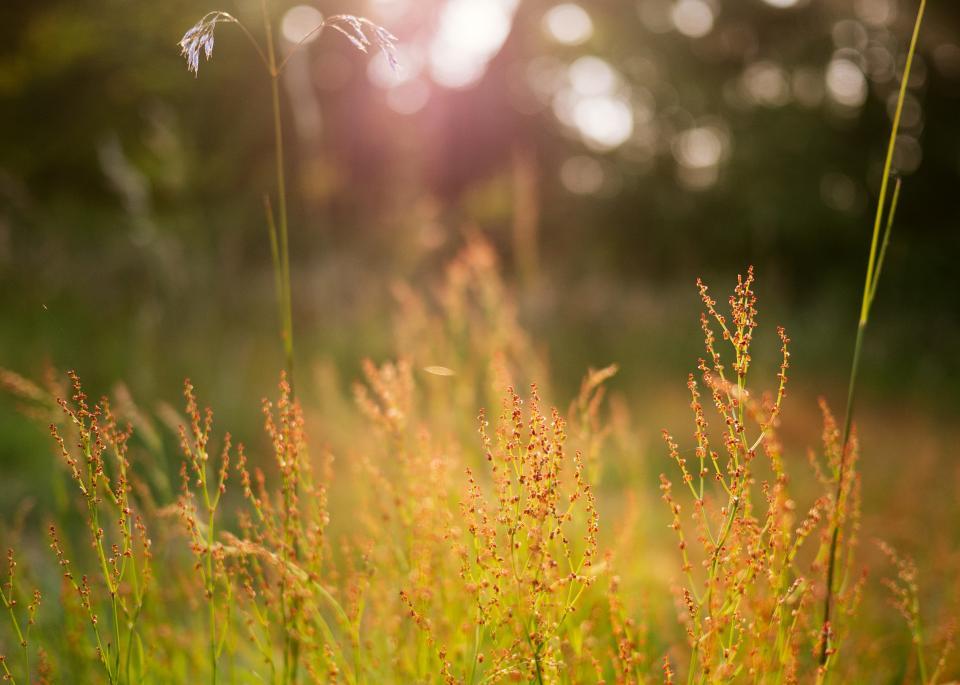 grass field nature crops landscape flower bokeh