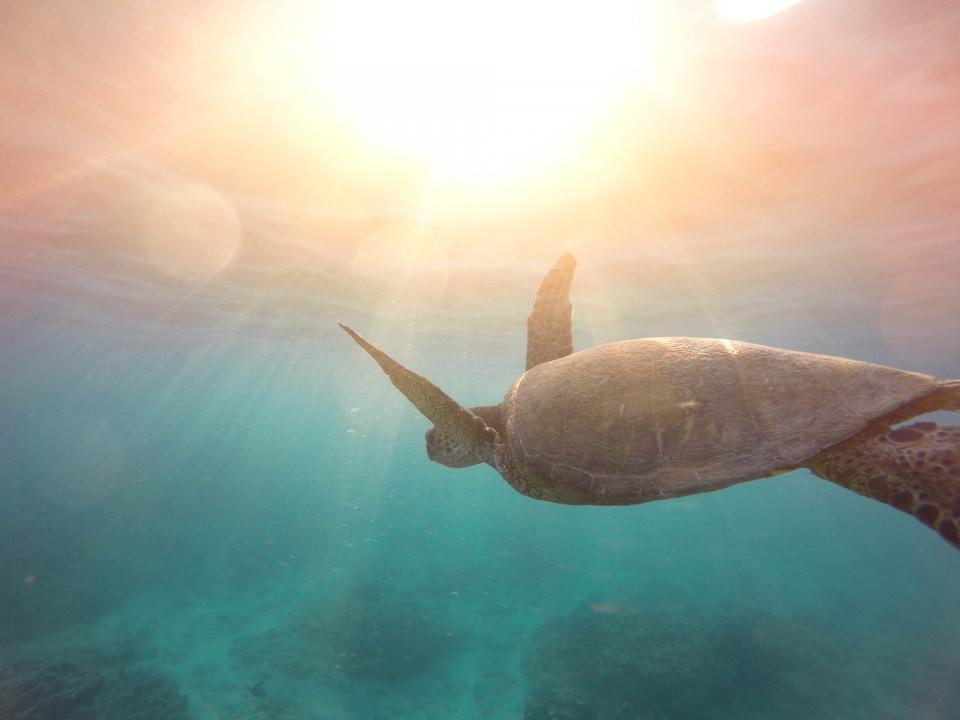 sea, turtle, reptile, aquatic, animal, water, ocean, underwater, swimming, sunlight