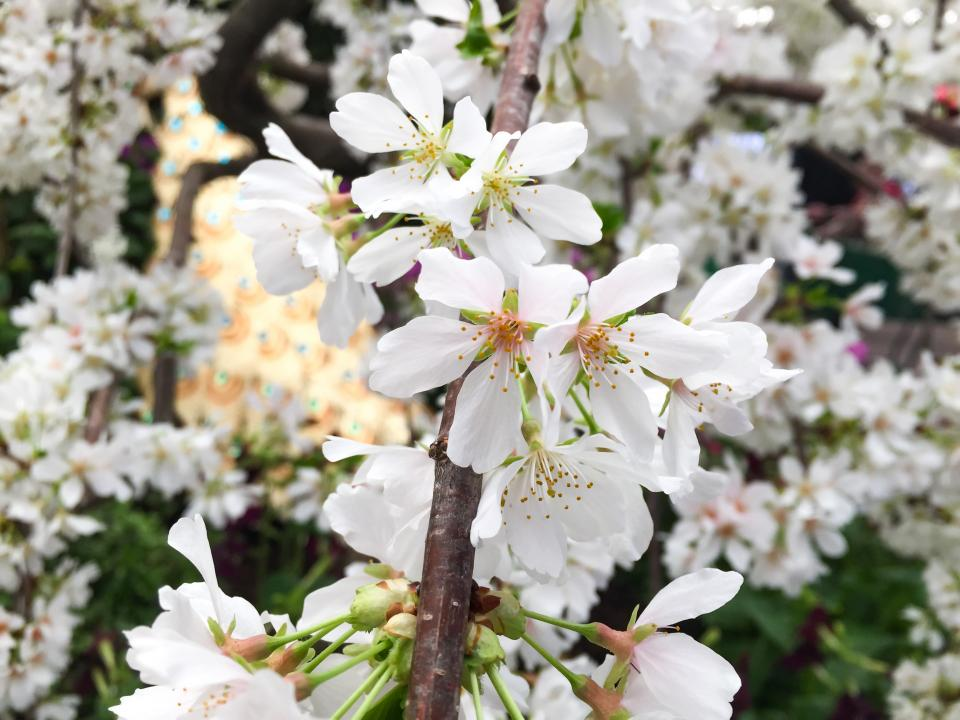white flower bloom blossoms nature plant garden outdoor trees